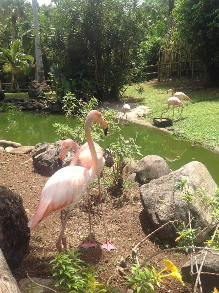 flamingi Guadeloupe